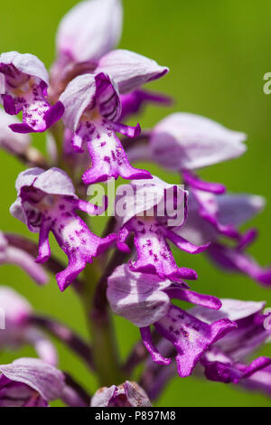 Soldaatje, Military Orchid - Stock Photo