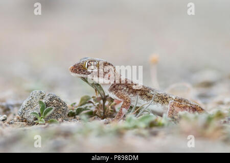 Southern short-fingered Gecko - Stenodactylus leptocosymbotes - Stock Photo