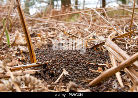 Red Wood Ants (Formica rufa) adult workers massing on top of the nest in early Spring. Dorset, England. April.
