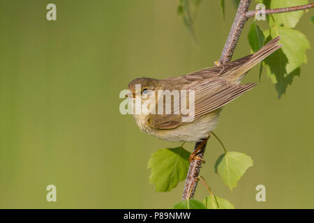 Willow Warbler - Fitis - Phylloscopus trochilus ssp. trochilus, Germany - Stock Photo