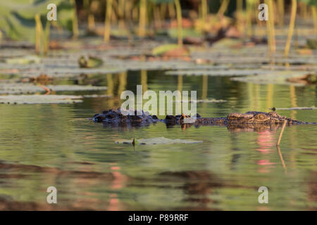 Saltwater crocodile with spinal deformity in Corroboree Billabong, Mary River Wetlands, Northern Territory - Stock Photo