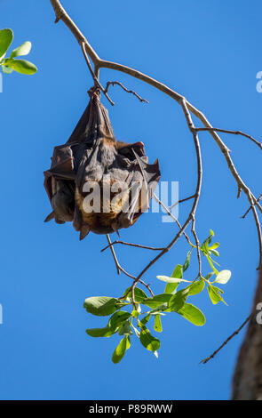 Adult and juvenile little red flying foxes or also known as fruit bats roosting in trees at Nitmiluk Gorge, Northern Territory, Australia - Stock Photo