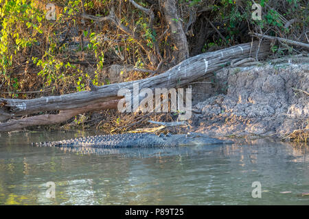 5m long Saltwater crocodile in Corroboree Billabong, Mary River Wetlands, Northern Territory - Stock Photo