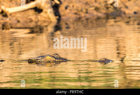 Saltwater crocodile in Corroboree Billabong, Mary River Wetlands, Northern Territory - Stock Photo