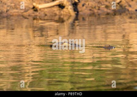 Saltwater crocodile in Corroboree Billabong, Mary River Wetlands, Northern Territory - Stock Photo