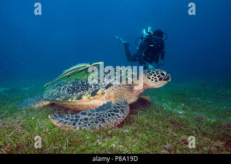 Diver and Green turtle (Chelonia mydas) over seaweed meadow, Sabang Beach, Mindoro, Philippines - Stock Photo