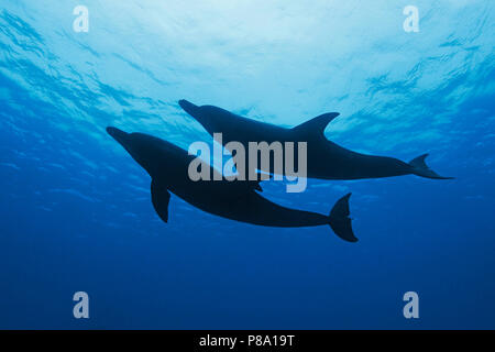 Indo-Pacific bottlenose dolphin (Tursiops aduncus), pair, silhouettes, Ogasawara, Japan - Stock Photo