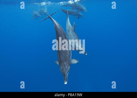 Indo-Pacific bottlenose dolphin (Tursiops aduncus), Group, Ogasawara, Japan - Stock Photo