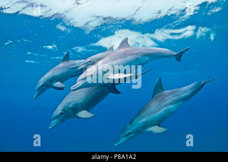 Bottlenose dolphin (Tursiops truncatus), Group, Sodwana Bay, South Africa - Stock Photo