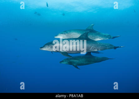Bottlenose dolphin (Tursiops truncatus), Group, Socorro Islands, Mexico - Stock Photo