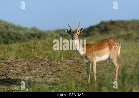 Fallow deer (Dama dama), spike in the dunes, Norderney, East Frisian Islands, Lower Saxony, Germany - Stock Photo