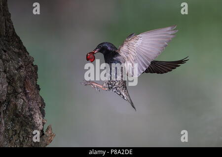 European starling (Sturnus vulgaris), Old bird with cherry in its beak approaching the nesting cave in a tree