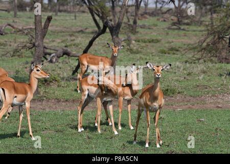 Impala (Aepyceros melempus).  Picture taken in the valley at Mahali Mzuri, Maasai Mara, Kenya. - Stock Photo