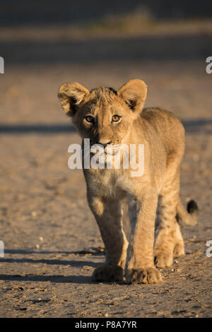 Lion cub (Panthera leo), Kgalagadi Transfrontier Park, South Africa - Stock Photo