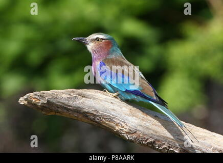 African Lilac breasted roller (Coracias caudatus) posing - Stock Photo