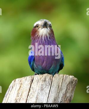 African Lilac breasted roller (Coracias caudatus) facinf forward - Stock Photo