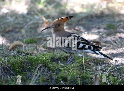Eurasian hoopoe (Upupa epops) in closeup - Stock Photo