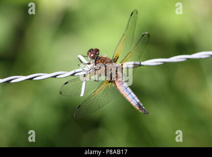 European Scarce chaser dragonfly (Libellula Fulva) in closeup - Stock Photo