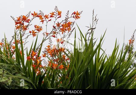 Red and orange Crocosmia flowers, also called Falling Stars - Stock Photo