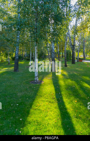 birch grove with a cluster of young and old trees on the green grass through which the sun shines . For your design - Stock Photo