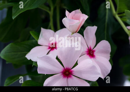 Beautiful Close up of Pink Vinca Flower also known as Madagascar Periwinkle and Catharanthus Roseus - Stock Photo