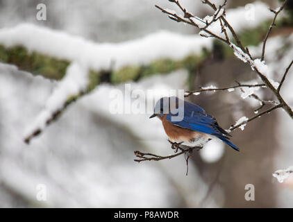 An eastern bluebird perches on a small snowy branch in the woods. - Stock Photo