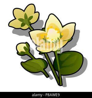 Yellow flowers of caltha or Caltha palustris isolated on white background. Vector cartoon close-up illustration. - Stock Photo