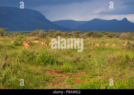 A herd of wild Impala Aepyceros melampus lit by early evening light on the Zimanga private game reserve beneath the shadow of Ghost Mountain. - Stock Photo