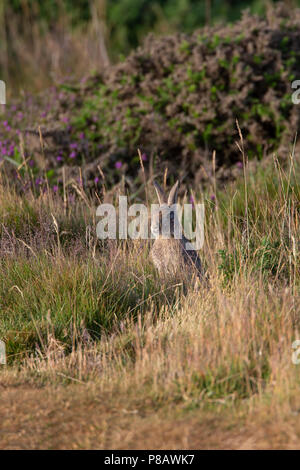 Wild UK Rabbit Oryctolagus cuniculus camouflaged in the tall grass on the uplands of the Great Orme headland in Llandudno, North Wales - Stock Photo