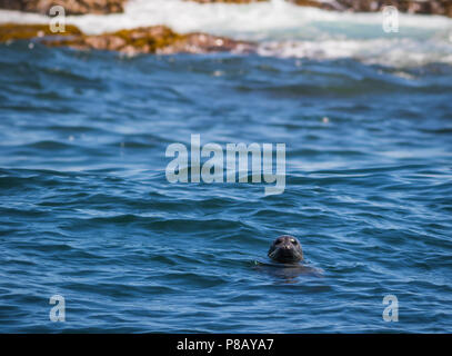 Gray Seal (Phocidae) pops his head out in the Muscongus Bay, Maine, on a sunny afternoon - Stock Photo