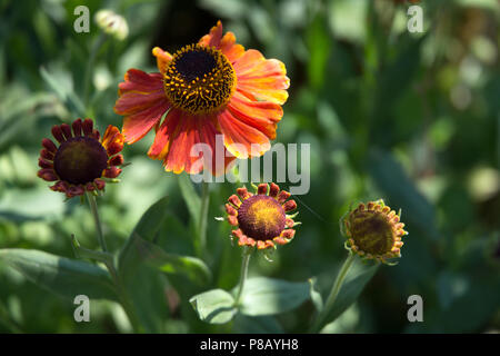 Helenium flowers fully open and at the bud stage - Stock Photo