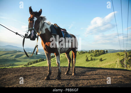horse standing in harness on hills background in Altai, Russia - Stock Photo