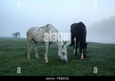 beautiful horses grazing on green pasture in Altai, Russia - Stock Photo