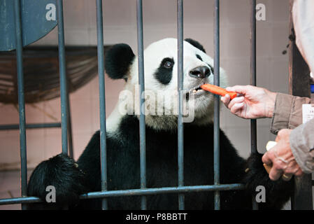 A woman visitor is feeding a Giant Panda at the Chengdu breeding centre - Stock Photo