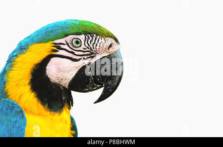 Blue-and-yellow macaw known as Arara Caninde isolated on white. - Stock Photo