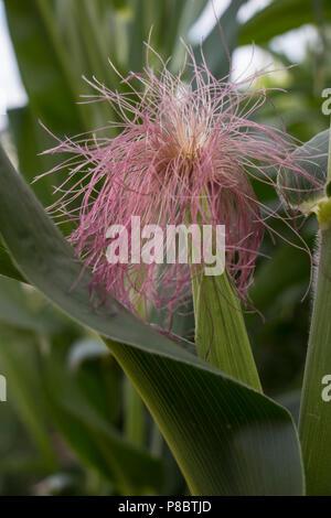 immature corncob on the plant - Stock Photo