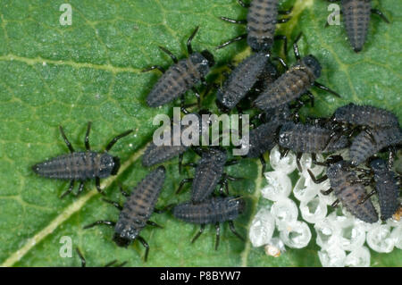 Newly hatched harlequin ladybird, Harmonia axyridis, larvae still with a raft of empty egg cases, June - Stock Photo