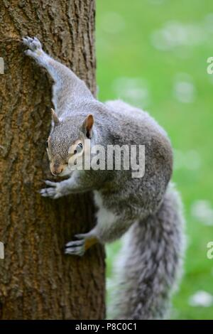 Portrait of a grey squirrel climbing on a tree trunk - Stock Photo