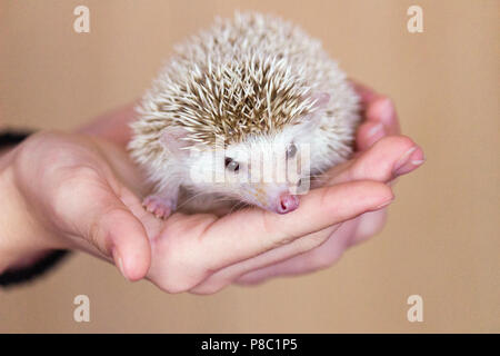 Cute hedgehog in hand, close-up - Stock Photo