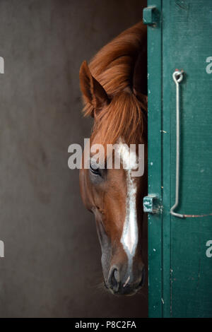 Chantilly, France, horse looks tired from his box - Stock Photo