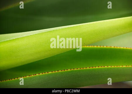 Attractive agave green leaves ,different green shades against a small red leaf margin ,diagonal lines ,horizontal composition - Stock Photo
