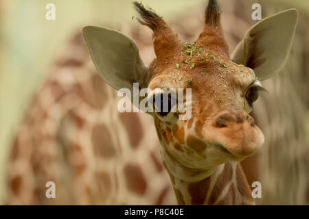 Cutest baby giraffe portrait - Stock Photo