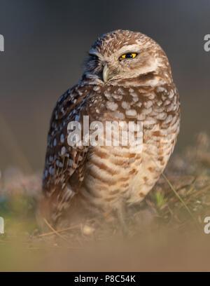 Burrowing Owl in Florida - Stock Photo