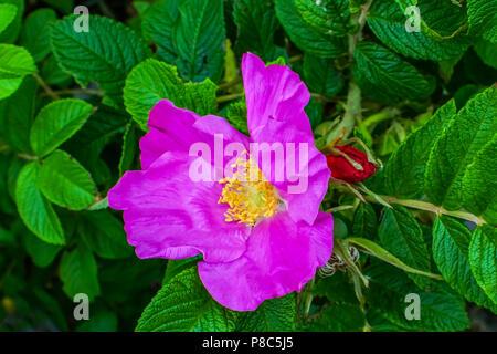 Pink Rosa Rugosa Beach Japanese Rose Green Leaves Close up Macro Invasive Species - Stock Photo