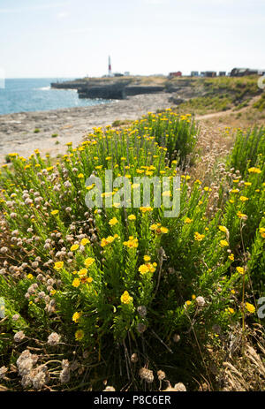 Golden-samphire, Inula crithmoides, growing on cliff egdes and tops on the Isle of Portland close to Portland Bill with the Portland Bill lighthouse i - Stock Photo