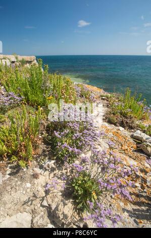 Portland sea-lavender, Limonium recurvum ssp. portlandicum, growing next to golden-samphire, Inula crithmoides, on rocky cliff tops on the Isle of Por - Stock Photo