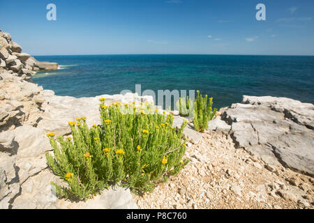 Golden-samphire, Inula crithmoides, growing on cliff egdes and tops on the Isle of Portland close to Portland Bill in Dorset England UK GB - Stock Photo