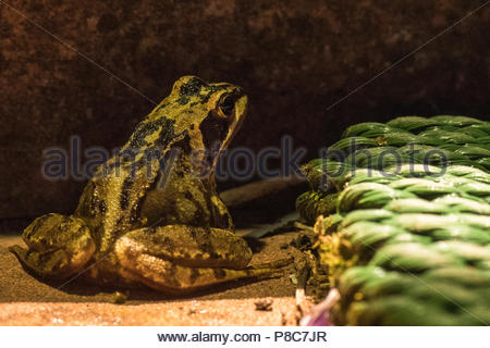 garden wildlife uk at night - a common frog (Rana temporaria' sitting outside house at night - Stock Photo