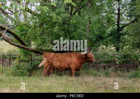 GLASGOW, SCOTLAND - JULY 10th 2018: A Highland cow hiding in the shade at Pollok Country Park. - Stock Photo