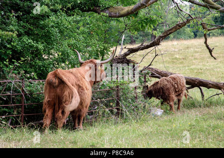 GLASGOW, SCOTLAND - JULY 10th 2018: A female Highland cow watching her calf at Pollok Country Park. - Stock Photo